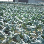 収穫直後のブロッコリー畑