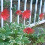 一生懸命咲くガーベラ。暑い日だったせいか花が下向き。