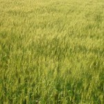麦畑。今頃は麦秋?