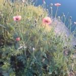 池の土手に咲くポピー