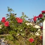 青空に映える赤いバラ。