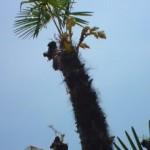 うちのシュロの木に黄色い花が咲いていました。最初は黄色い鳥と見間違え、ビックリ!