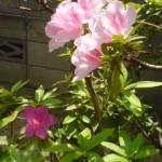 薄ピンクのつつじの木に違う色の濃いピンクの花が一つ咲いていました。突然変異?