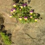こぼれ種で石の隙間に咲いたビオラ。力強い!