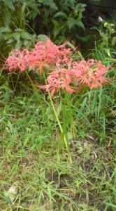 雑草の中に彼岸花
